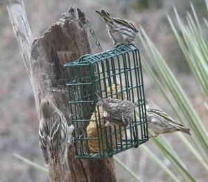Pine Siskins at Casitas de Gila near Silver City, New Mexico