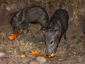 javelinas in Gila, New Mexico