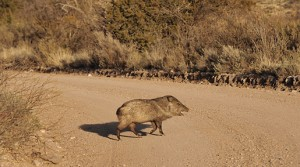 javelina near silver city, new mexico