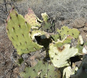 Prickly Pear in Southwest New Mexico