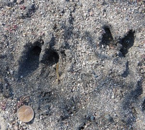 Javelina footprints