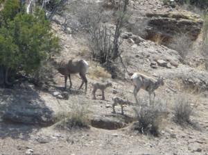 Bighorn Sheep and their Lambs