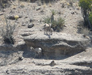 Bighorn Lambs and their Mommas