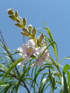 desert willow blossom