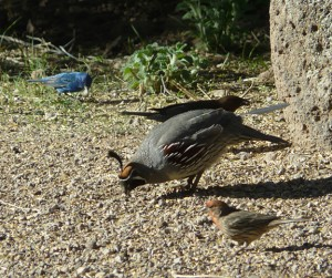 Indigo Bunting, Cowbird, Gambel's Quail, House Finch