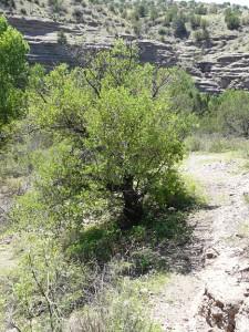 desert scrub oak