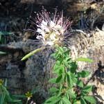 Clammyweed (Polanisia dodecandra)