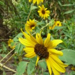 Common Sunflower (Helianthus annuus)