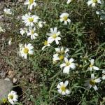 Desert Zinnia (Zinnia acerosa)