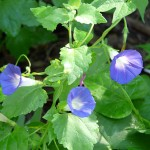 Mexican Morning Glory (Ipomoea hirsutula)