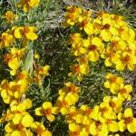 Prairie Zinnia (Zinnia grandiflora)