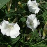 Sacred Datura (Datura meteloides)