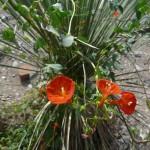 Scarlet Creeper (Ipomoea coccinea)