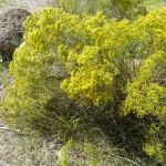 Snakeweed (Gutierrezia microcephala)
