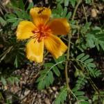 Summer Poppy (Kallstroemia grandiflora)