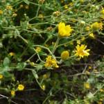 Telegraph Plant (Heterotheca subaxillaris)