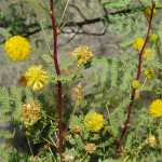 White Thorn (Acacia constricta)