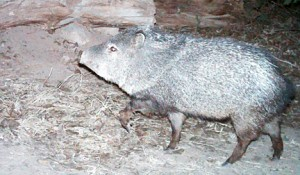 collard peccary or javelina