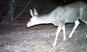 Desert Mule Deer