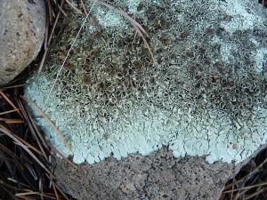 foliose lichen closeup