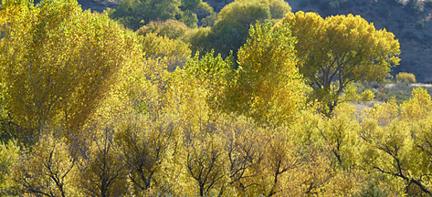 brilliant fall cottonwoods in southwest new mexico