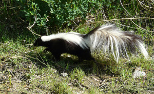 Striped Skunk New Mexico