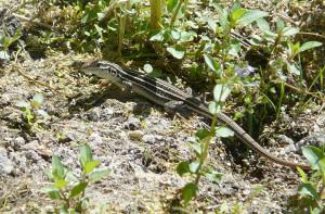 desert whiptail lizard