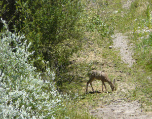 Doe Mule Deer enjoying brunch along the dry portion of the stream bed