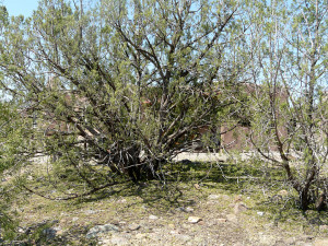 A juniper on the east side of the Casitas, facing the direction from which the hail came, with about half of their foliage stripped from their branches, forming a green carpet under the tree.