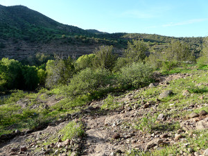 Same view of two scrub oaks on east-facing slope photographed 16 days after the hail storm, showing amazing regeneration of leaves on scrub oaks and ground-cover vegetation.