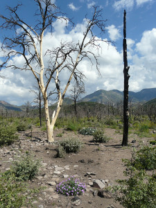 Completely burned area of piñon and juniper showing rapid regeneration of flowering plants, shrubs, and scrub oak on September 6, 2013, one year after Whitewater-Baldy fire.