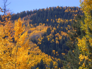golden aspen in the Gila Wilderness