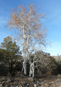 gnarled sycamores in the Gila