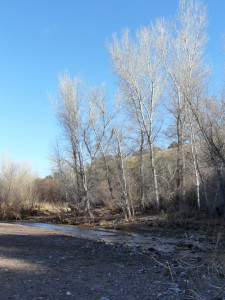 cottonwoods in the Gila Forest