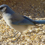 gray-breasted jay