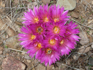 pincushion cactus flowers