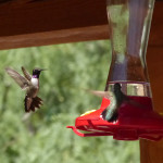 male black-chinned hummingbirds