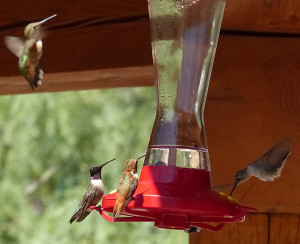 hummingbirds in New Mexico