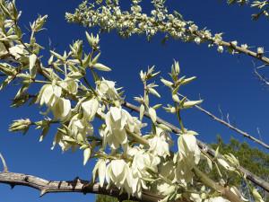 soaptree yucca flowers