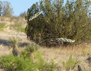 bent soaptree yucca