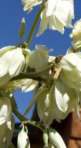 soaptree yucca