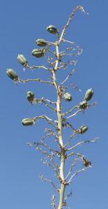 fruit of Soaptree Yucca