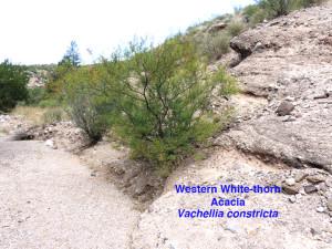 Western White-thorn Acacia
