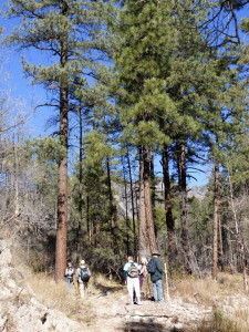 ponderosa pine in Gila Forest