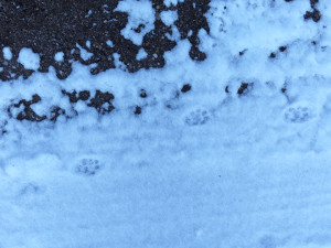 bobcat and rabbit tracks