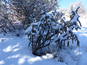 cane cholla with snow