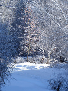 sycamore with snow