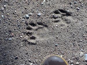 coatimundi tracks