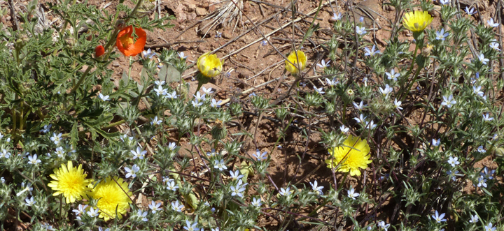 New Mexico Spring Wildflowers
