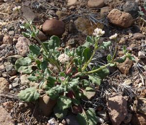 Abert's Wild Buckwheat